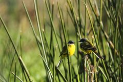 Wild canary. In nature Environment Royalty Free Stock Image
