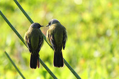 Wild canary. In nature Environment Stock Photography