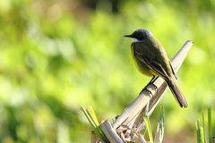 Wild canary. In nature Environment Stock Images
