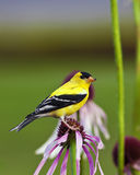 Wild Canary Bird. A close up shot of a male American Goldfinch (Carduelis tristis) also known as the Eastern Goldfinch and Wild Canary on top of a purple flower Royalty Free Stock Photography