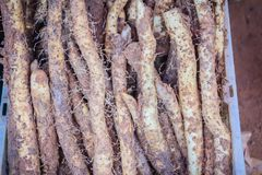 Wild candle potato (Dioscorea filiformis) in Thailand local market. Tubers elongated, up to 50 cm long, 2 cm in diameter, with ten royalty free stock images