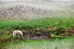 Wild canid drinking in northern meadow. Natashquan, Quebec, Canada Royalty Free Stock Photography