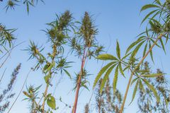 Wild Cannabis Field in Mongolia stock photo