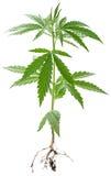 Wild Cannabis plant. Stock Image