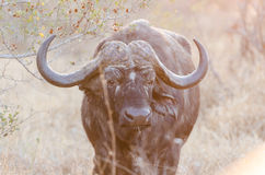 Wild Cape Buffalo in Kruger Park South Africa Stock Photography