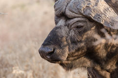 Wild Cape Buffalo in Kruger Park South Africa Royalty Free Stock Photo