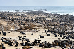 Wild Cape Fur Seals Colony, Namibia Royalty Free Stock Photography