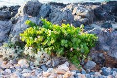 Wild caper bush Royalty Free Stock Image