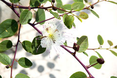 Wild capers branch with flower Stock Photo