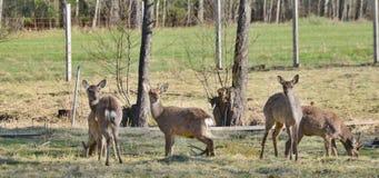Wild captive wildlife, southern Bohemia, Czech Republic. Wild forest animals, captive, southern Bohemia, Czech Republic Royalty Free Stock Photos