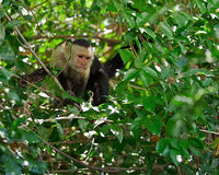 Wild capuchin monkey in Costa Rica. Young and curious white-faced capuchin monkey in the Palo Verde National Park of Costa Rica Stock Photo