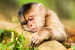 Wild Capuchin Monkey Sleeping Royalty Free Stock Photos