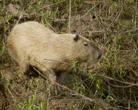 Wild capybara Stock Photos