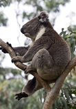 wild carefree koala arkivbild