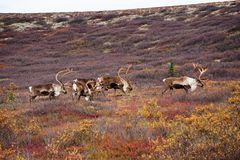 Wild Caribou in Alaska stock images