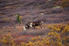 Wild Caribou in Alaska stock photography