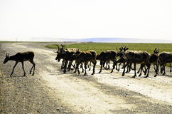 Wild Caribou crossing the road Stock Photography