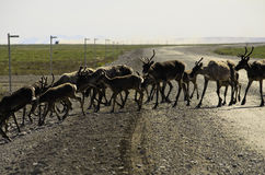 A wild Caribou herd crossing the road Stock Image