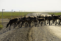 A wild Caribou herd crossing the road Stock Images