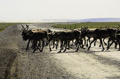 A wild Caribou herd crossing the road Royalty Free Stock Image