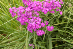 Wild carnation Stock Photo