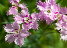 Wild carnation pink flowers Royalty Free Stock Photography