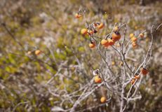 Wild Carolina horsenettle berries. Yellow grass and dry twigs in the background royalty free stock image