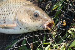 Wild carp lying in landing net with hook in mouth Stock Photography