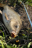 Wild carp lying in landing net with hook in mouth Stock Photo