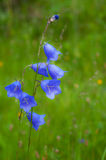 Wild carpathian bellflower Campanula carpatica Stock Photo