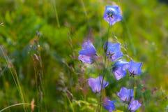 Wild carpathian bellflower Campanula carpatica Stock Image