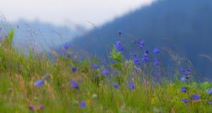 Wild carpathian bellflower Campanula carpatica Stock Photos