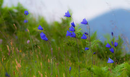 Wild carpathian bellflower Campanula carpatica Stock Images