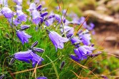 Wild carpathian bellflower Campanula carpatica, Ukraine. Royalty Free Stock Photography