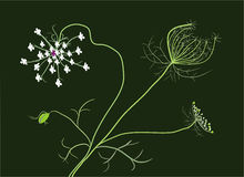 Wild carrot Stock Photography