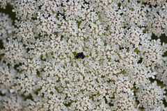 Wild carrot, Apiaceae Stock Photography