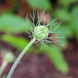Wild carrot bud Royalty Free Stock Images