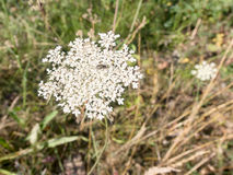Wild carrot, Daucas carota. Royalty Free Stock Photography