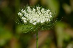 Wild Carrot - Daucus carota. Close up of a white Wild Carrot flower. Also known as Queen Anne`s Lace. Tommy Thompson Park, Toronto, Ontario, Canada Stock Image