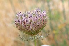 Wild carrot daucus carota flower balearic islands Royalty Free Stock Image