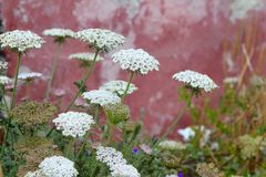 Wild carrot daucus carota flower balearic islands Stock Photos
