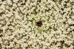 Wild Carrot (Daucus carota) flower Royalty Free Stock Images