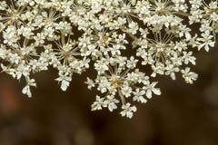 Wild Carrot (Daucus carota) flower Stock Photos