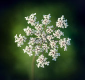 Wild Carrot, Daucus carota. Royalty Free Stock Photo
