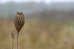 Wild carrot, dry flower in autumn / winter, background with copy Royalty Free Stock Image
