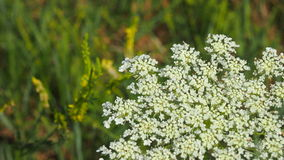 Wild carrot Royalty Free Stock Photography