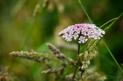 Wild carrot Stock Photo
