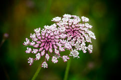Wild carrot Royalty Free Stock Photos
