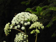 Wild carrot flower  in autumn Royalty Free Stock Photos