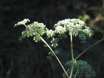 Wild carrot flower in autumn Royalty Free Stock Photo